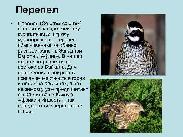 Перепел • Перепел (Coturnix coturnix)  относится к подсемейству  куропатковых, отряду