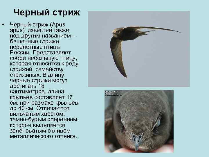 Черный стриж • Чёрный стриж (Apus  apus) известен также  под