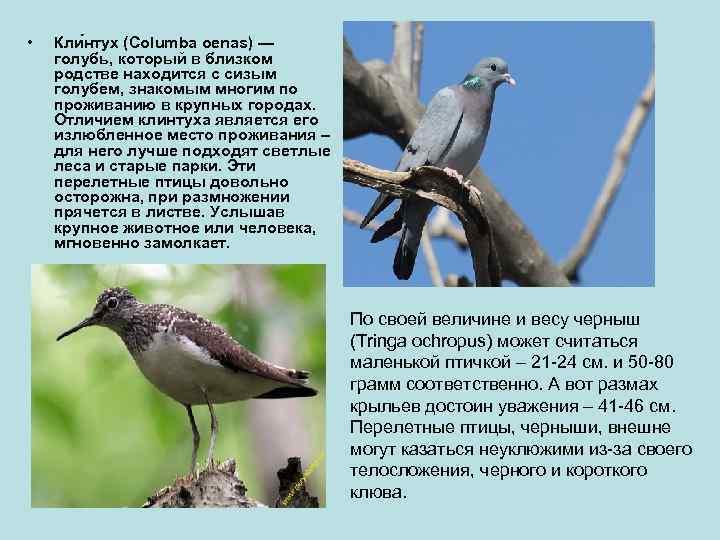 •  Кли нтух (Columba oenas) — голубь, который в близком родстве находится