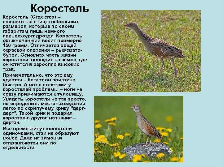 Коростель (Crex crex) – перелетные птицы небольших размеров, которые по своим