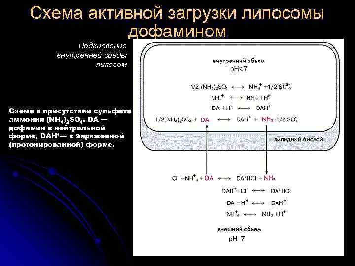 Схема активной загрузки липосомы дофамином Подкисление внутренней среды липосом Схема в присутствии сульфата аммония
