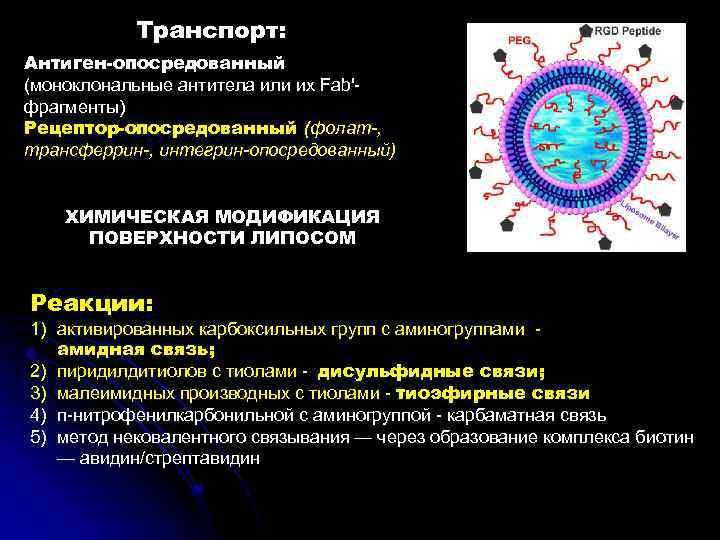 Транспорт: Антиген-опосредованный (моноклональные антитела или их Fab' фрагменты) Рецептор-опосредованный (фолат-, трансферрин-, интегрин-опосредованный) ХИМИЧЕСКАЯ МОДИФИКАЦИЯ