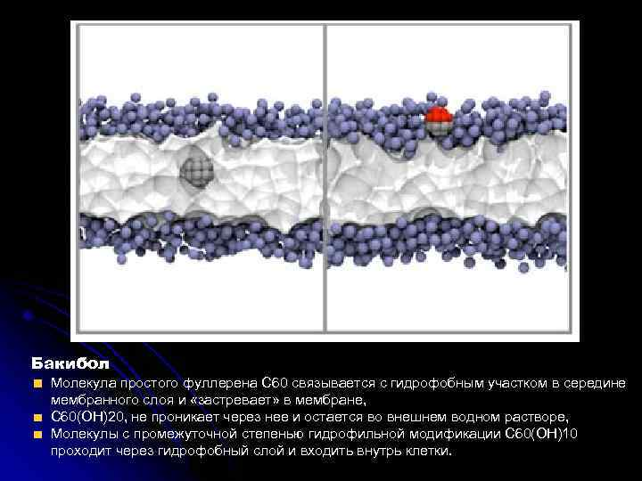 Бакибол Молекула простого фуллерена С 60 связывается с гидрофобным участком в середине мембранного слоя