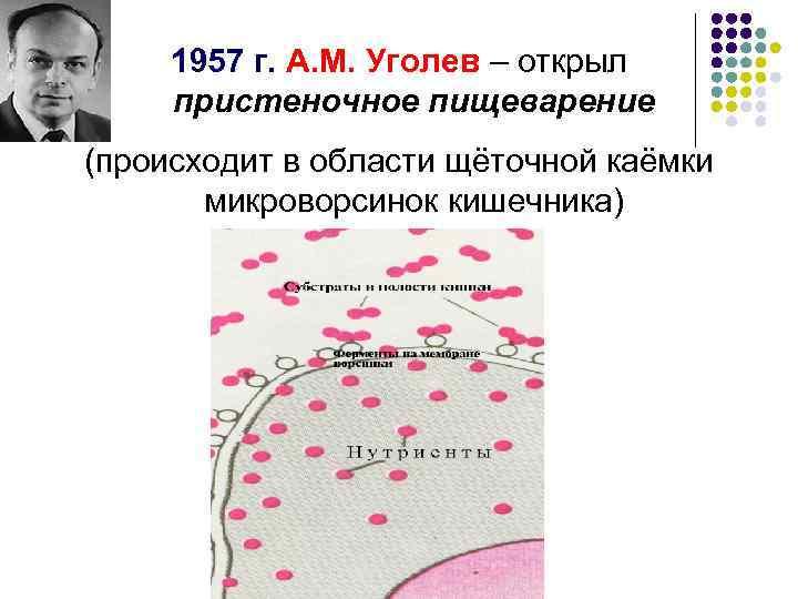 1957 г. А. М. Уголев – открыл пристеночное пищеварение (происходит в области щёточной