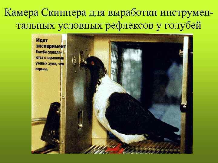 Камера Скиннера для выработки инструмен-  тальных условных рефлексов у голубей