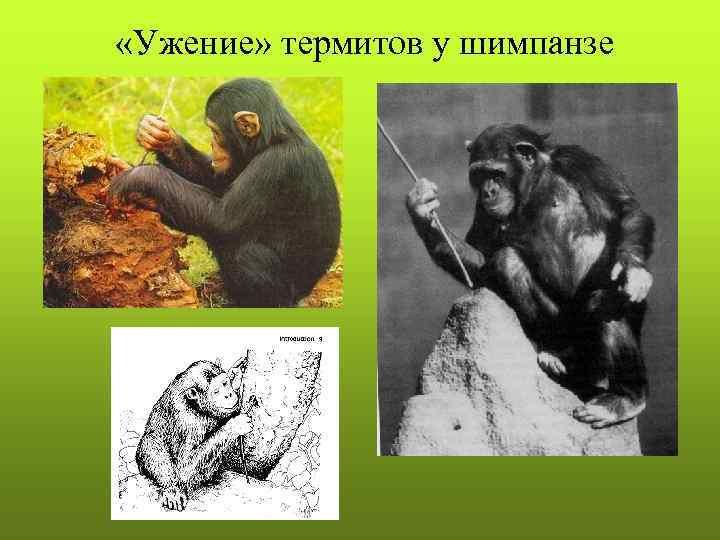 «Ужение» термитов у шимпанзе
