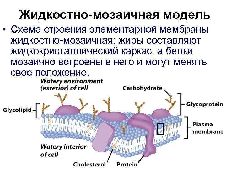 Жидкостно-мозаичная модель • Схема строения элементарной мембраны  жидкостно-мозаичная: жиры составляют