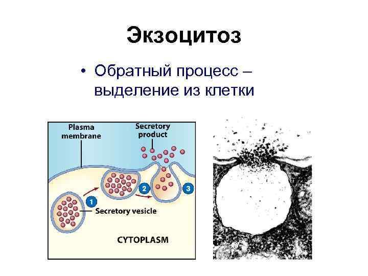 Экзоцитоз • Обратный процесс –  выделение из клетки
