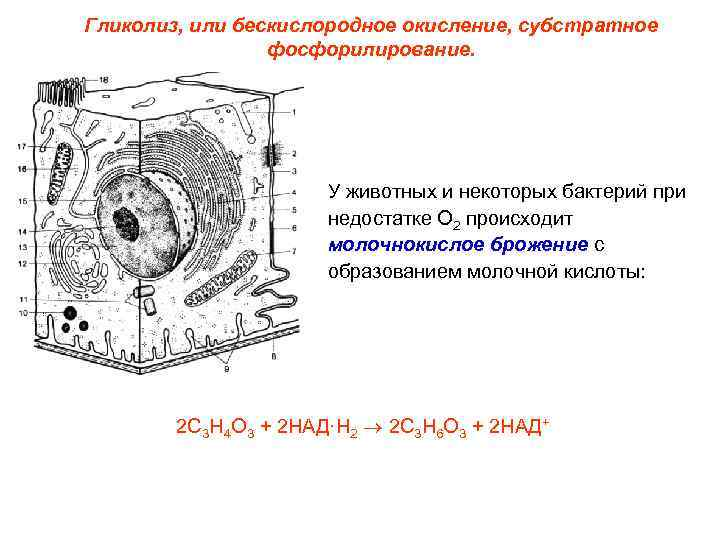 Гликолиз, или бескислородное окисление, субстратное   фосфорилирование.      У