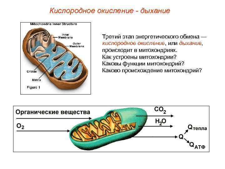 Кислородное окисление - дыхание    Третий этап энергетического обмена —