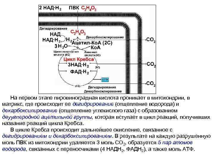 На первом этапе пировиноградная кислота проникает в митохондрии, в матрикс, где происходит