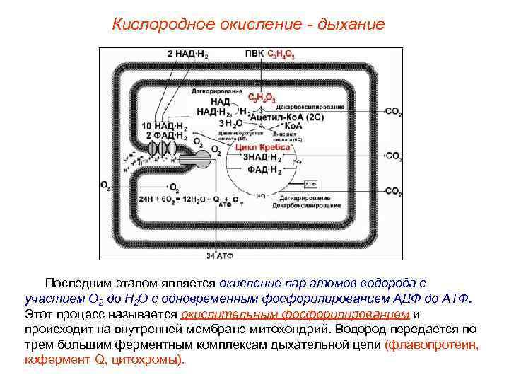 Кислородное окисление - дыхание  Последним этапом является окисление пар атомов