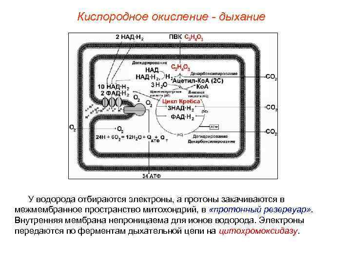 Кислородное окисление - дыхание  У водорода отбираются электроны, а протоны
