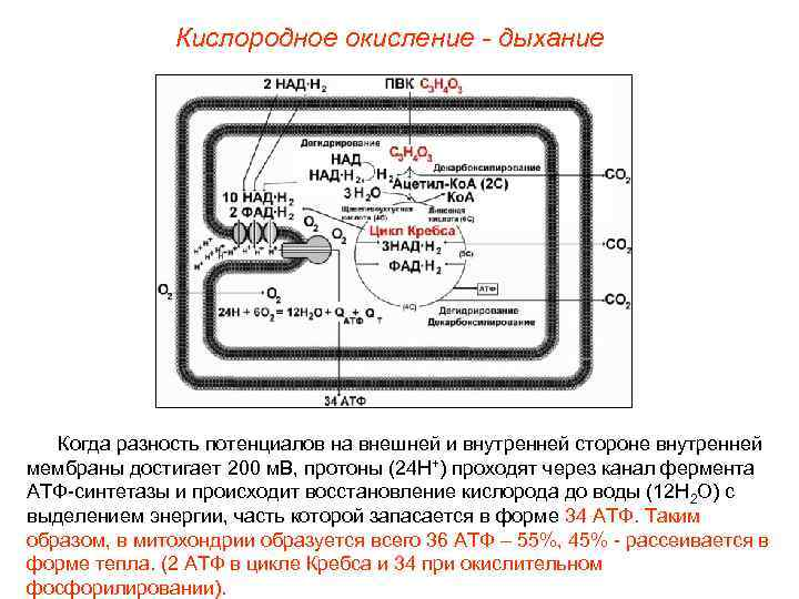 Кислородное окисление - дыхание  Когда разность потенциалов на внешней и