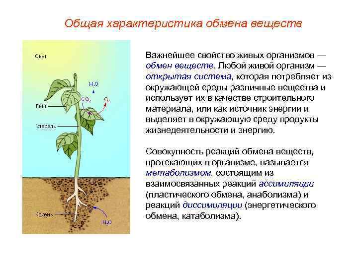 Общая характеристика обмена веществ   Важнейшее свойство живых организмов —   обмен