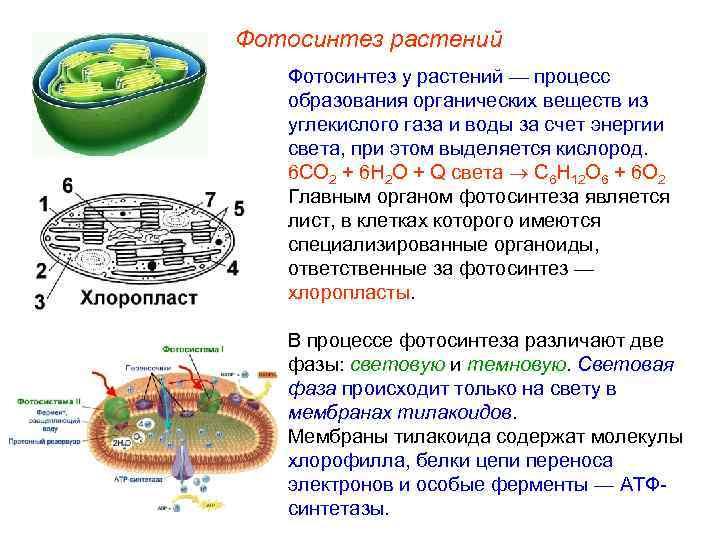 Фотосинтез растений  Фотосинтез у растений — процесс образования органических веществ из углекислого газа