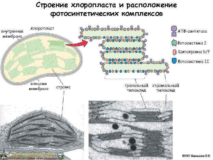 Строение хлоропласта и расположение    фотосинтетических комплексов