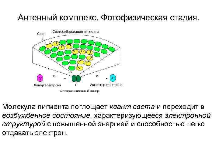 Антенный комплекс. Фотофизическая стадия.  Молекула пигмента поглощает квант света и переходит