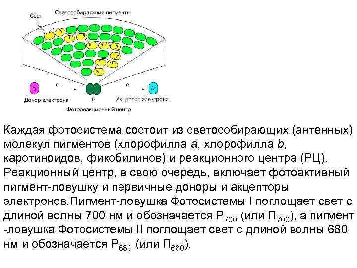 Каждая фотосистема состоит из светособирающих (антенных) молекул пигментов (хлорофилла а, хлорофилла b,  каротиноидов,