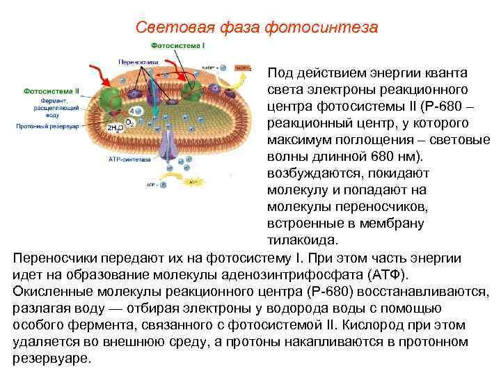 Световая фаза фотосинтеза       Под