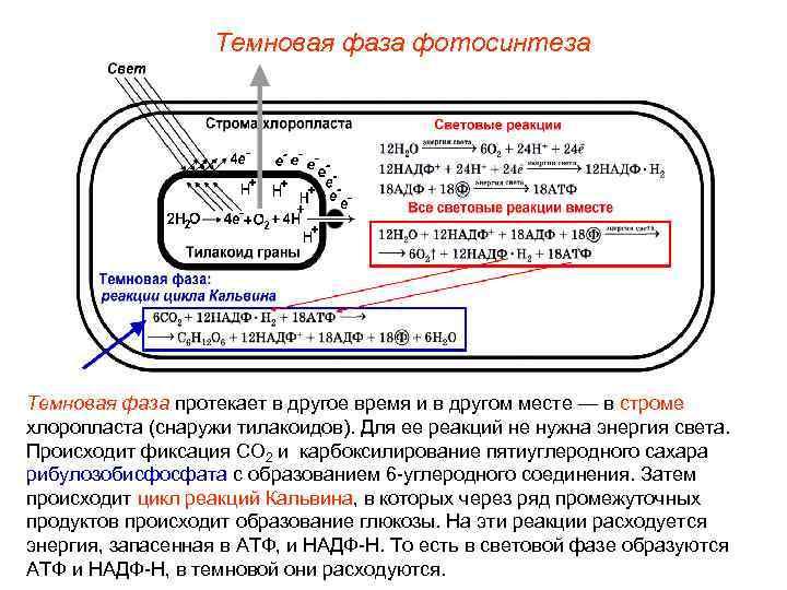 Темновая фаза фотосинтеза Темновая фаза протекает в другое время и