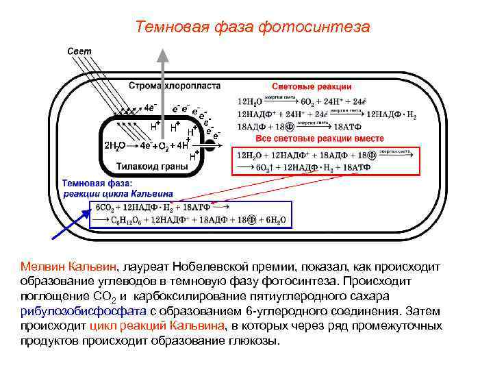 Темновая фаза фотосинтеза Мелвин Кальвин, лауреат Нобелевской премии, показал, как происходит