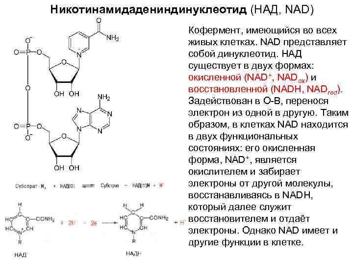 Никотинамидадениндинуклеотид (НАД, NAD)     Кофермент, имеющийся во всех