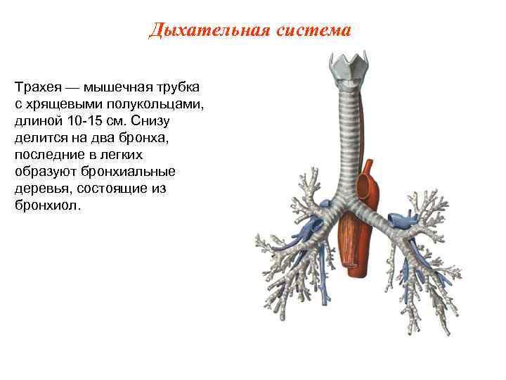 Дыхательная система Трахея — мышечная трубка с хрящевыми полукольцами, длиной 10