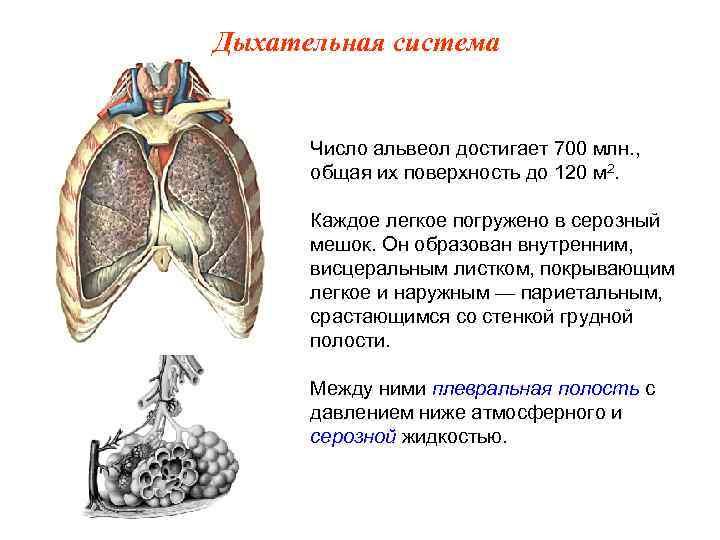 Дыхательная система   Число альвеол достигает 700 млн. ,  общая их поверхность