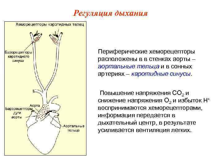 Регуляция дыхания   Периферические хеморецепторы расположены в в стенках аорты – аортальные тельца
