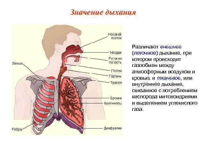 Значение дыхания    Различают внешнее    (легочное) дыхание, при