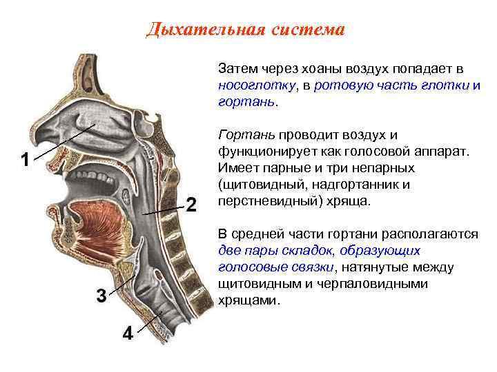 Дыхательная система  Затем через хоаны воздух попадает в  носоглотку, в ротовую часть