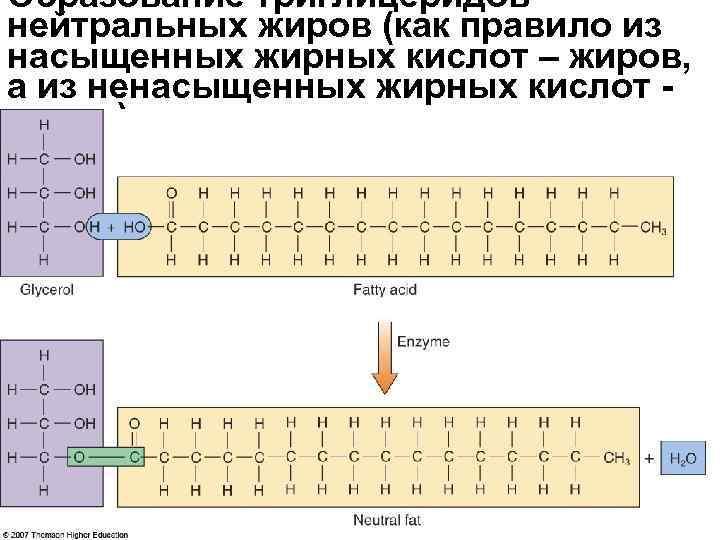 Образование триглицеридов - нейтральных жиров (как правило из насыщенных жирных кислот – жиров,