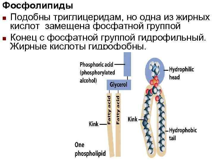 Фосфолипиды n Подобны триглицеридам, но одна из жирных  кислот замещена фосфатной группой n