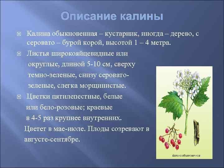 Описание калины Калина обыкновенная – кустарник, иногда – дерево, с