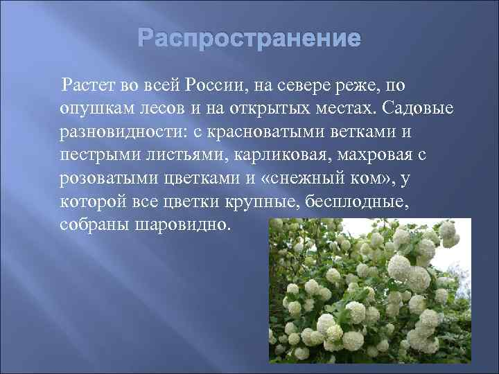 Распространение Растет во всей России, на севере реже, по  опушкам лесов