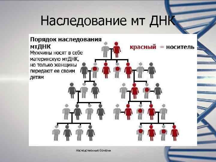 Наследование мт ДНК   Наследственные болезни