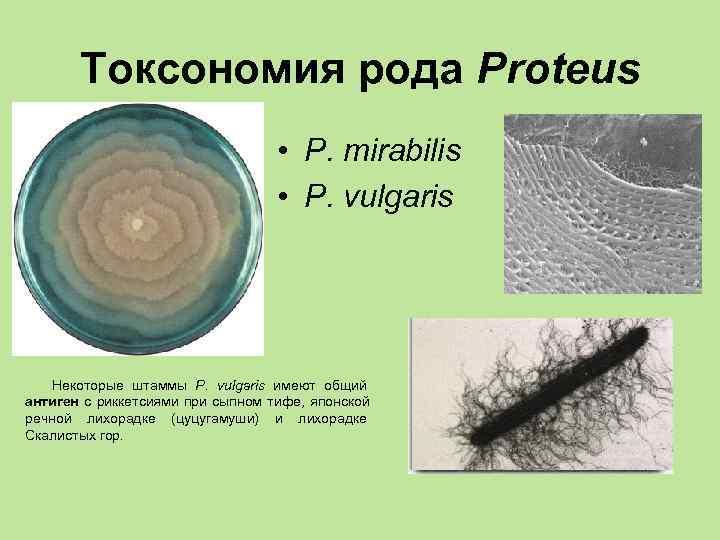 Токсономия рода Proteus       • P. mirabilis