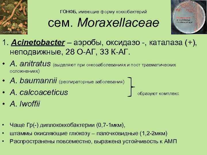 ГОНФБ, имеющие форму коккобактерий    сем. Moraxellaceae