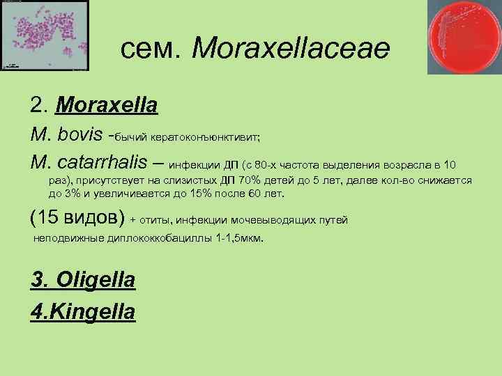сем. Moraxellaceae 2. Moraxella M. bovis -бычий кератоконъюнктивит; M. сatarrhalis