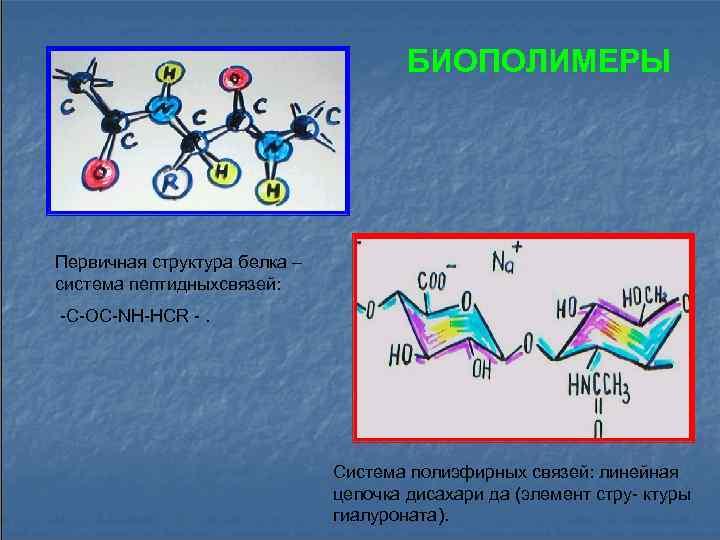 БИОПОЛИМЕРЫ Первичная структура белка – система пептидныхсвязей: