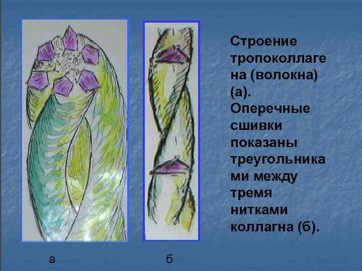 Строение   тропоколлаге   на (волокна)   (а).