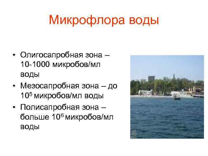 Микрофлора воды  • Олигосапробная зона –  10 -1000 микробов/мл