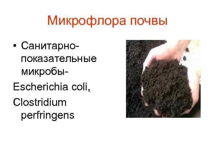 Микрофлора почвы • Санитарно-  показательные  микробы- Escheriсhia coli, Clostridium  perfringens