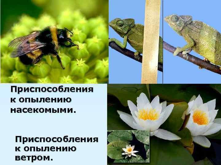 Приспособления к опылению насекомыми.  Приспособления к опылению ветром.