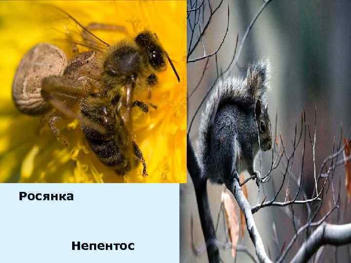 Росянка   Непентос
