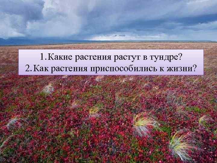 1. Какие растения растут в тундре? 2. Как растения приспособились к жизни?