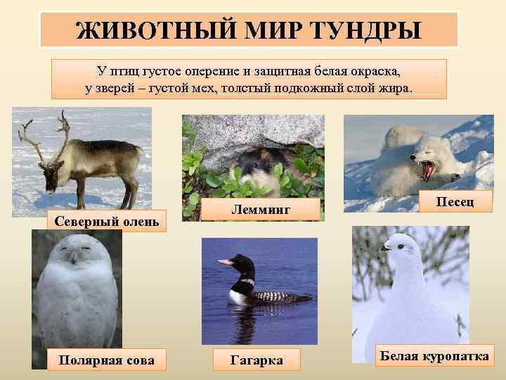 ЖИВОТНЫЙ МИР ТУНДРЫ  У птиц густое оперение и защитная белая окраска, у