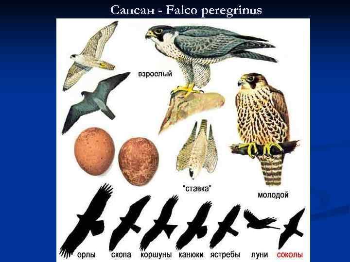 Сапсан - Falco peregrinus