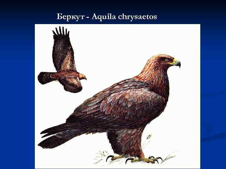 Беркут - Aquila chrysaetos